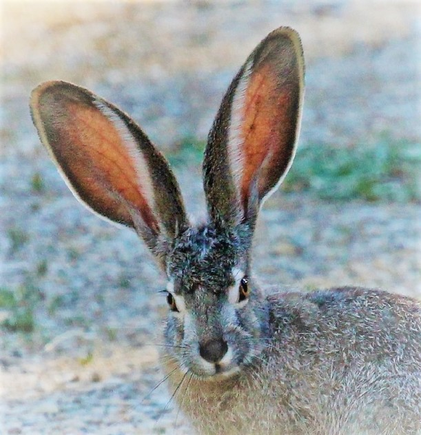 ears rabbit
